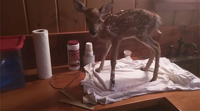 man-saves-injured-baby-deer-animal-friendship3