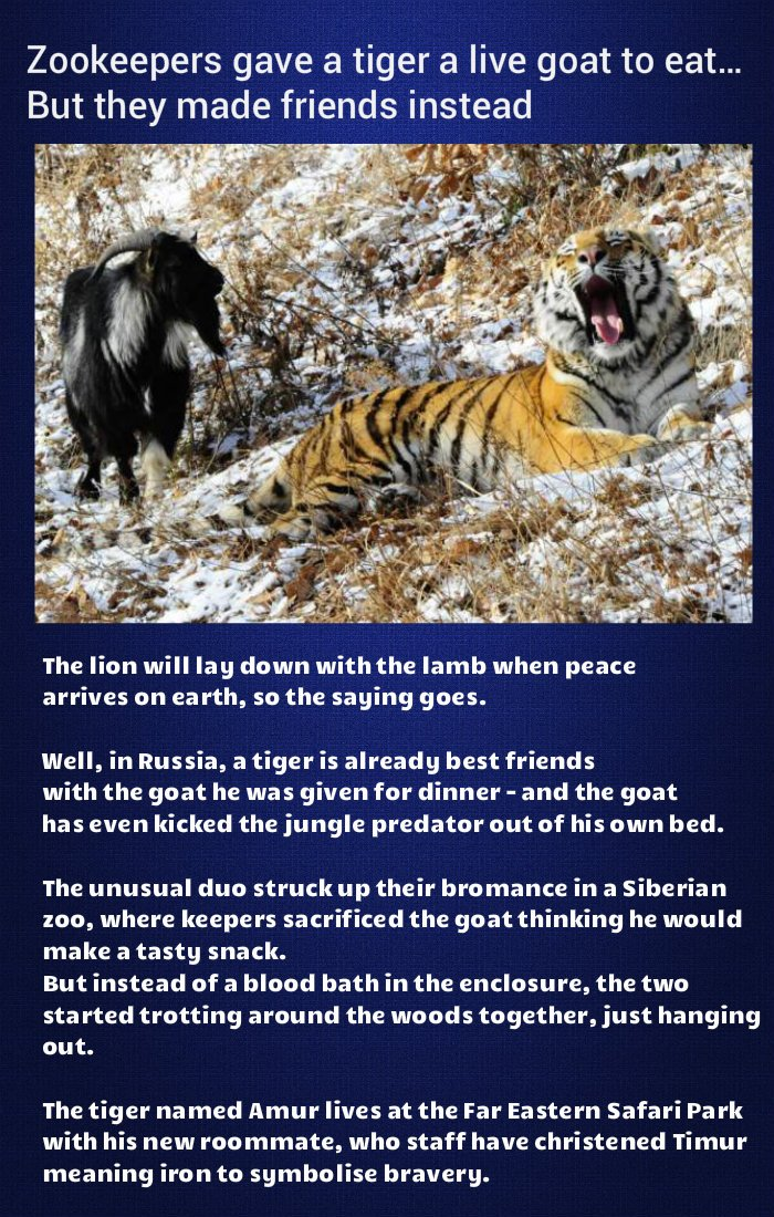 tiger-friend-goat